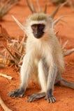 Singe dans la savane en Afrique Photos stock