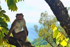 Singe dans Sri Lanka images libres de droits