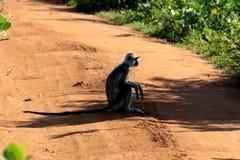 Singe dans Sri Lanka en parc national de Yala Photographie stock