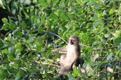 Singe dans un arbre Photo libre de droits