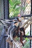 Singe dans une cage Photo libre de droits