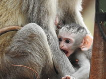 Singe de bébé de Vervet Photo stock