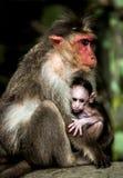 Singe de bébé - le mulatta de Macacus a également appelé le singe rhésus Image libre de droits