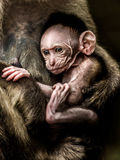 Singe de bébé - le mulatta de Macacus a également appelé le singe rhésus Images libres de droits