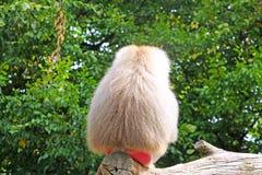 Singe de babouin Photographie stock