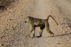 Singe de babouin dans la faune de l'Afrique photographie stock