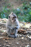 Singe de Balinese Photo libre de droits