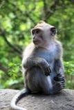 Singe de Balinese Photographie stock libre de droits