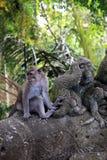 Singe de Balinese Photos libres de droits