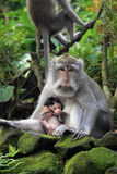 Singe de Balinese avec l'enfant Photos stock
