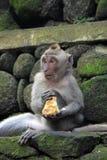 Singe de Balinese mangeant de la nourriture Photo libre de droits