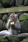 Singe de Balinese mangeant de la nourriture Image stock