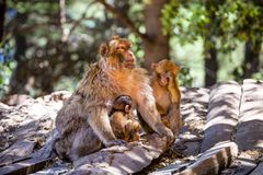 Singe de Barbarie femelle, sylvanus de Macaca, avec deux babys, le Maroc Image stock