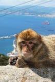 Singe de Barbarie, Gibraltar images libres de droits