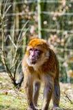 Singe de Berber regardant le pré pour son petit singe de bébé Image stock