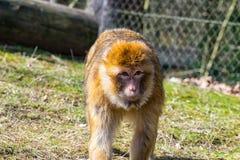 Singe de Berber regardant le pré pour son petit singe de bébé Photo libre de droits