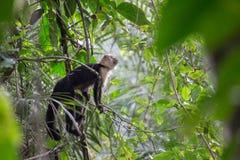 Singe de capucin Photos libres de droits