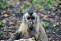 Singe de capucin mangeant un morceau de fruit images stock