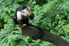 Singe de capucin prenant son déjeuner Image libre de droits