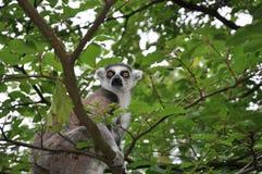 Singe de Catta dans l'arbre Image stock