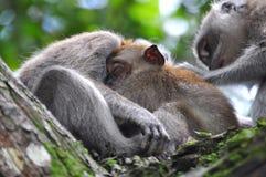 Singe de chéri dormant solidement dans Bossom de la mère Photographie stock