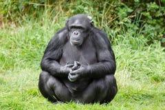 Singe de chimpanzé Image libre de droits
