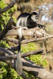 Singe de Colobus avec la longue queue blanche photographie stock libre de droits