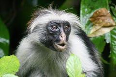 Singe de colobus de forêt de Jozani Photographie stock libre de droits