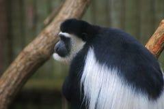 Singe de Colobus noir et blanc photo stock