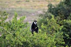 Singe de colobus noir et blanc Photographie stock