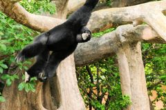 Singe de gibbon photos stock