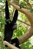 Singe de gibbon de Siamang Photos libres de droits