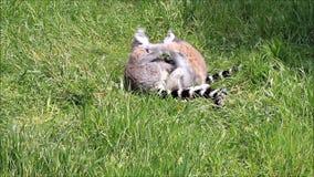 Singe de lémur clips vidéos