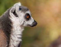 Singe de lémur suivi par boucle Photos stock