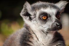 Singe de lémur suivi par boucle Photo stock