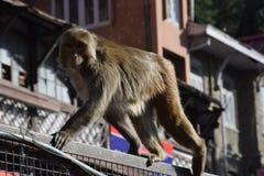 Singe de l'Himalaya Photos stock