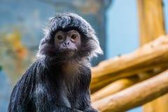 Singe de langur de Javan avec son visage en plan rapproché, beau portrait d'un primat tropical, espèce animale vulnérable du Java photos stock