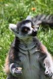 Singe de Lemur Photos libres de droits