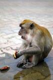 Singe de Macaque Photo stock