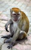 Singe de Macaque Photos stock