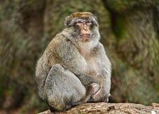 Singe de Macaque Photographie stock libre de droits