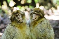 Singe de Macaque Images stock
