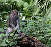 Singe de Macaque image stock