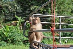 Singe de Macaque Asie se reposant sur le lookin animal de faune de voiture de collecte Photo libre de droits