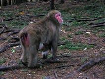 Singe de Macaque avec la chéri Photo libre de droits