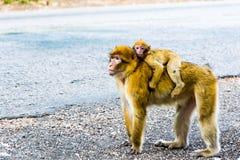 Singe de Macaque de Barbarie se reposant sur la terre dans la forêt de cèdre, Azrou, Maroc photographie stock libre de droits