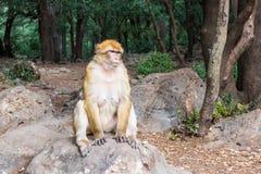 Singe de Macaque de Barbarie se reposant sur la terre dans la forêt de cèdre, Azrou, Maroc image libre de droits