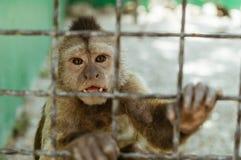 Singe de Macaque dans une cage, Image stock