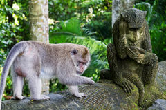 Singe de Macaque de Bali et singe de pierre Image stock