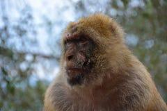 Singe de macaque de Barbarie Photo libre de droits